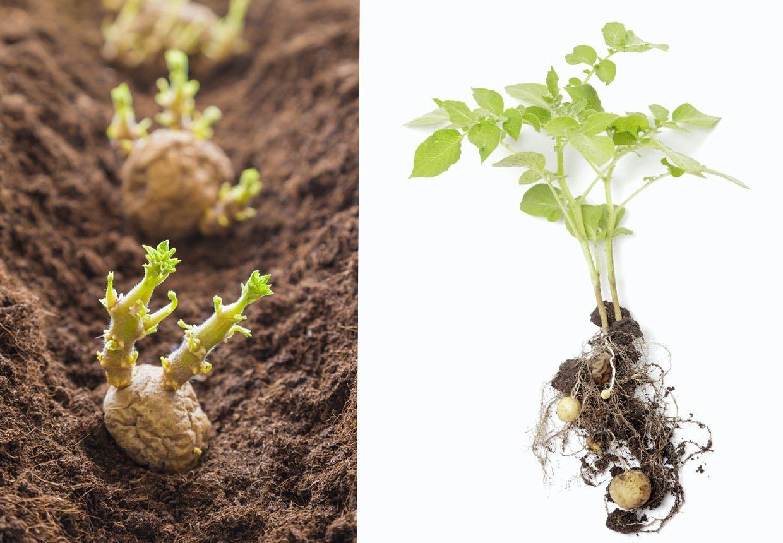 kartoffel plante spirer