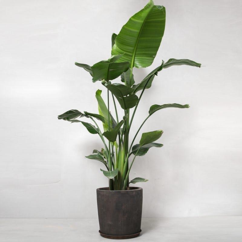 bananpalme stor palme greenify