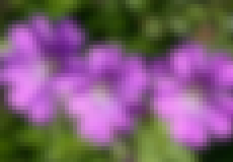 Lilla geranium storkenæb