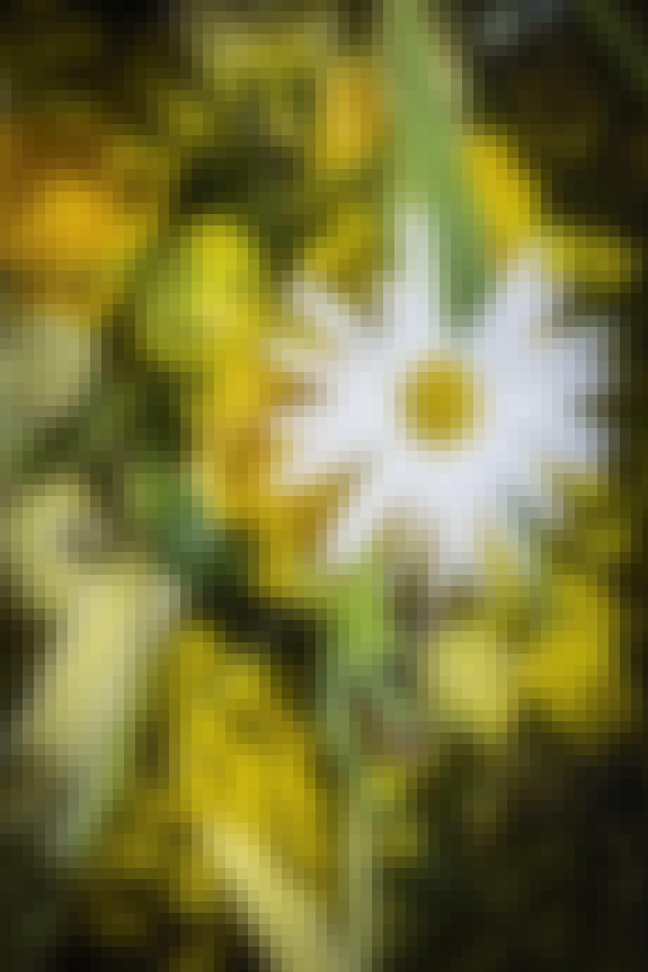 blomsterkrans til påskebordet med påskeæg og marguerite