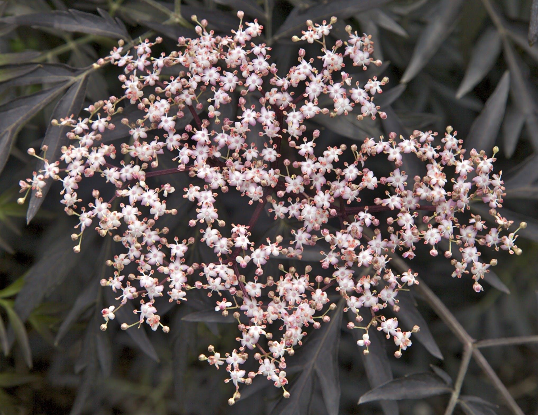 Rødbladet hyld (sambucus nigra)