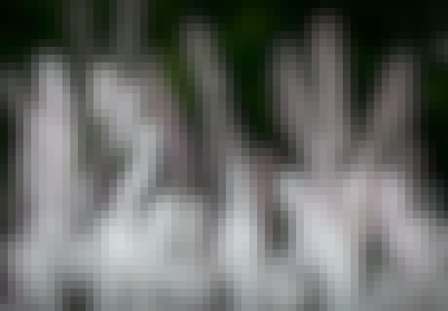 Sølvlys (Cimicifuga)
