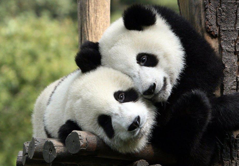 zoologisk have panda københavn big bjarne ingels