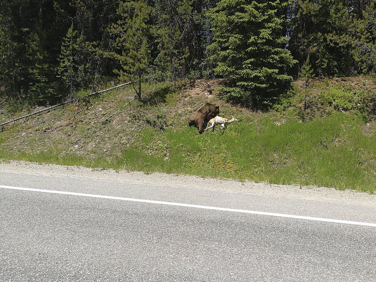 bjørn bambi canada