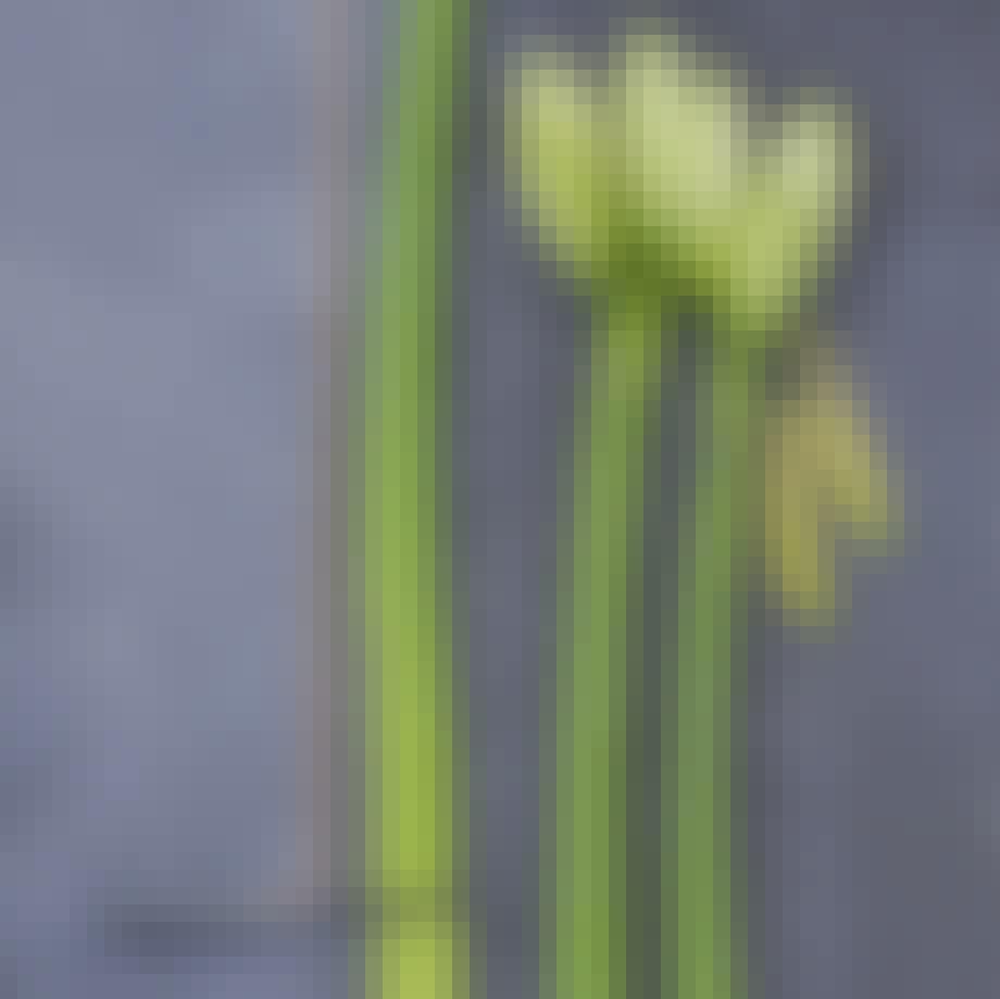 amaryllis blomst skåret over i bunden af stilken