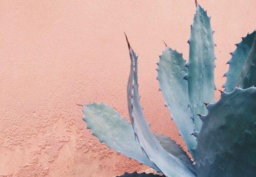 kaktus med lyserød baggrund