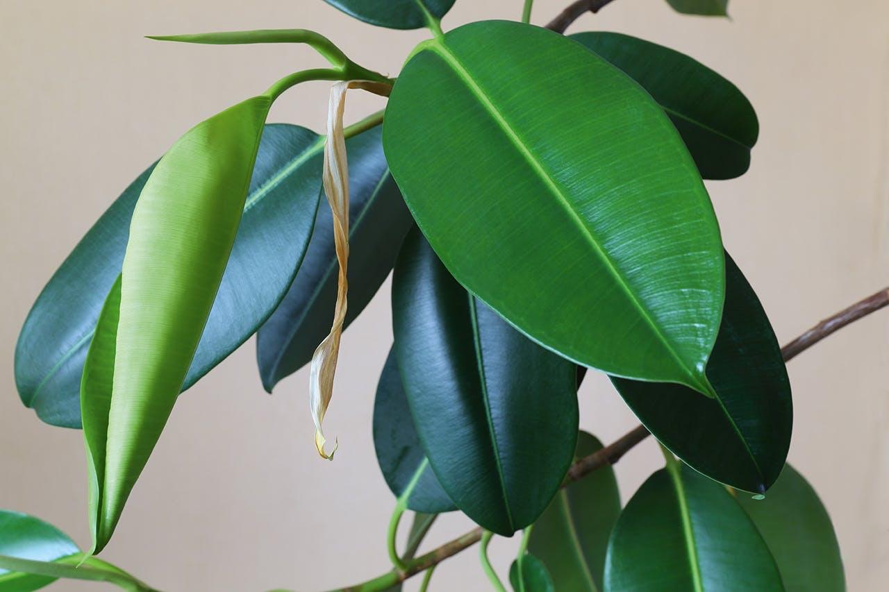 plantes blad
