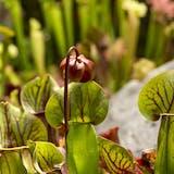 kødædende plante fluefanger