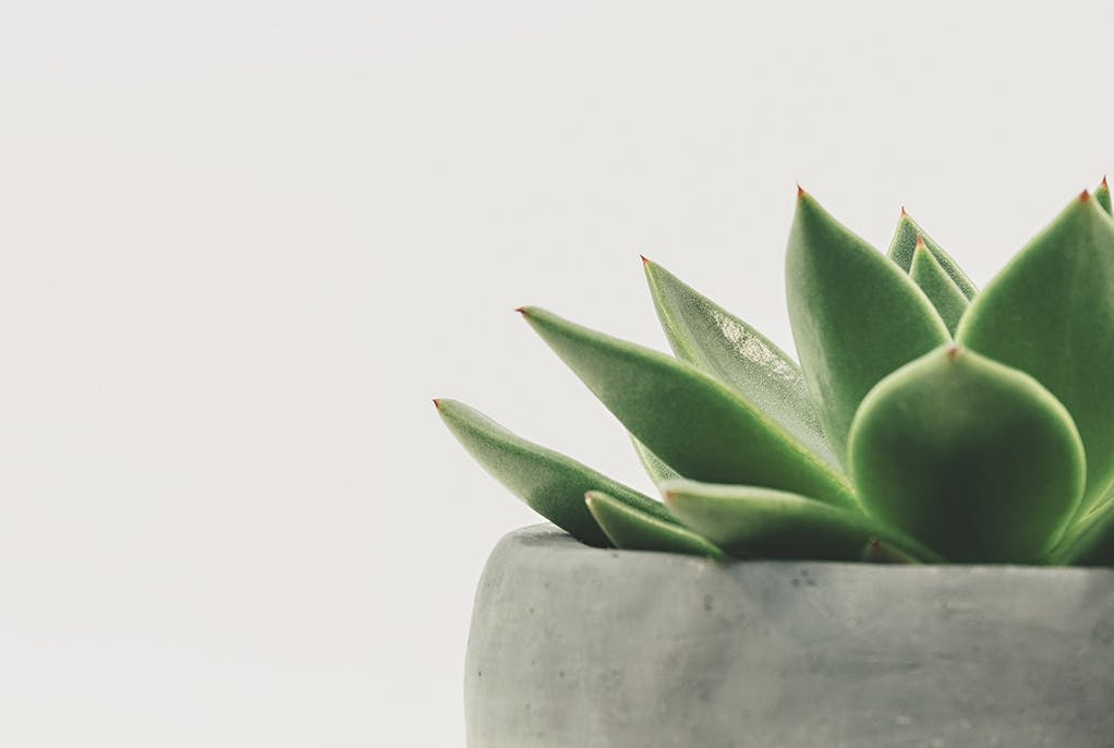 kaktus plante