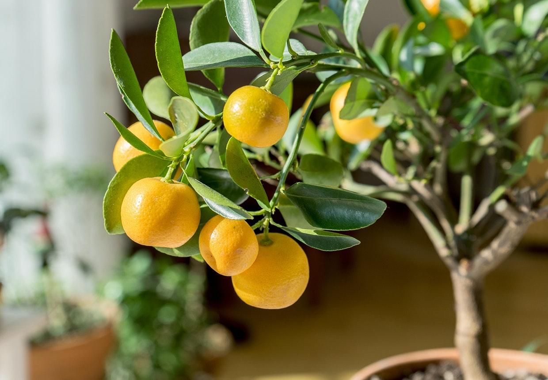 Indendørs citrustræ i krukke