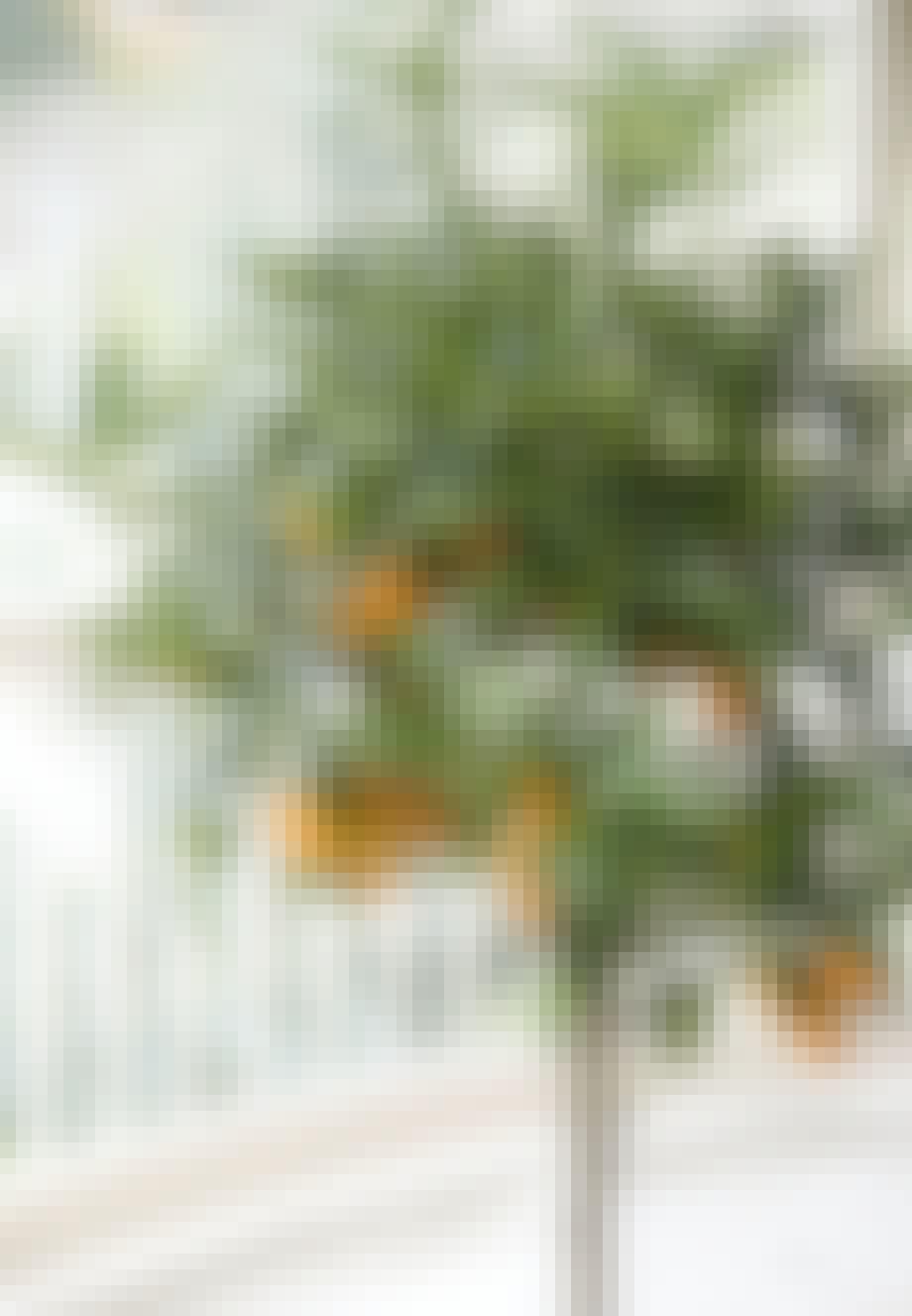Citrustræer som denne kumquat er flotte og afskrækker samtidigt edderkopper