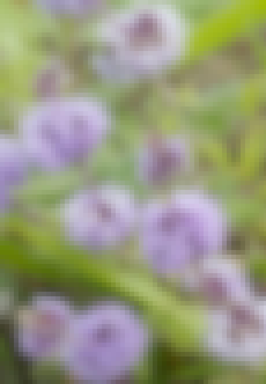 Polejmynte er en flot plante med fine, lilla blomster