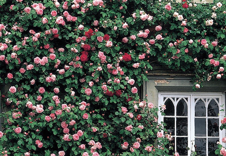 'Constance Spry' fra David Austin Roses