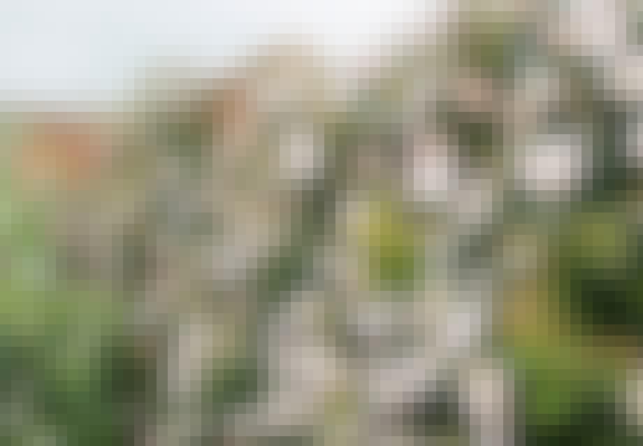 'Shropshire Lass' fra David Austin Roses