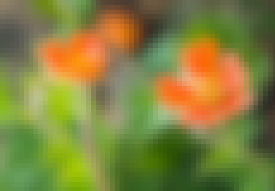 Nellikerod (Geum hybridum)