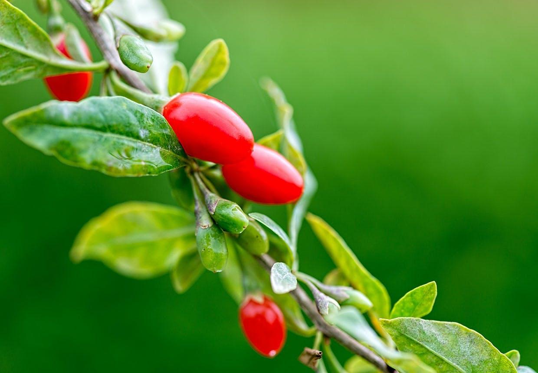 Goji bær på goji busk