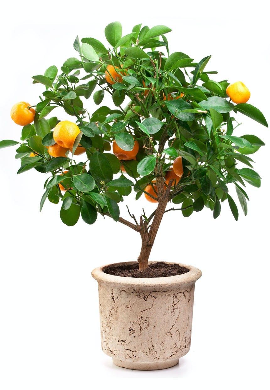 Klementintræ