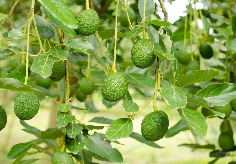 Avocadoer hænger på træet
