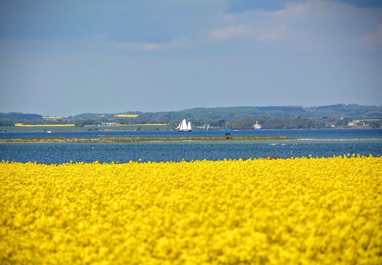 Knitrende gule rapsmarker på Sydfyn med kig ud over havet