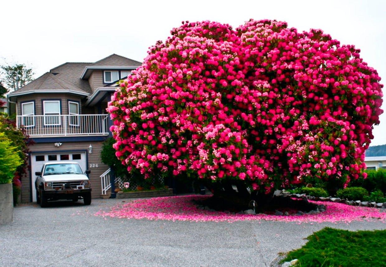 Stort rododendrontræ i Canada