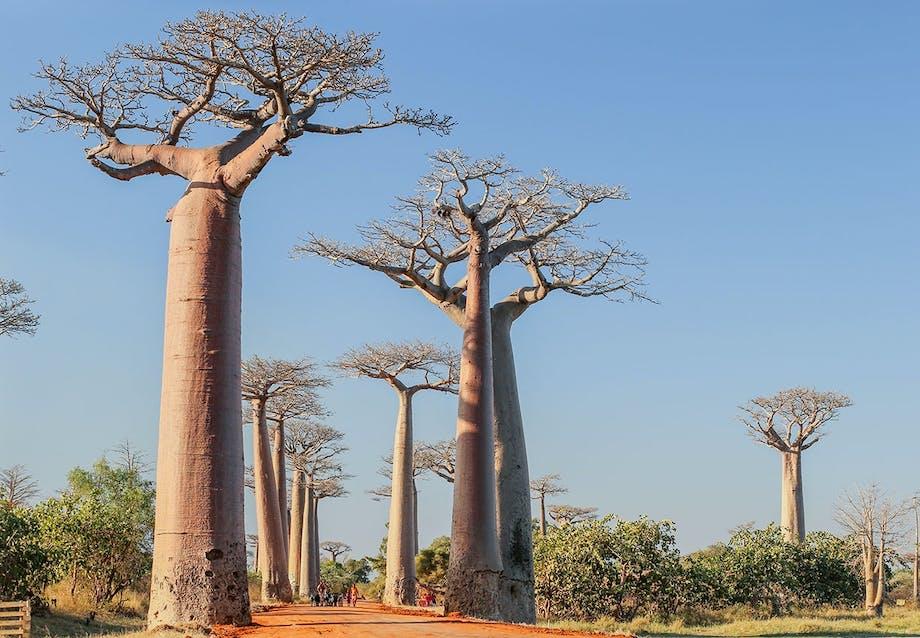 Baobab avenuen på Madagascar