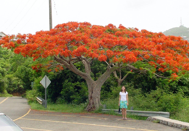 Flamboyant træ på St. Thomas