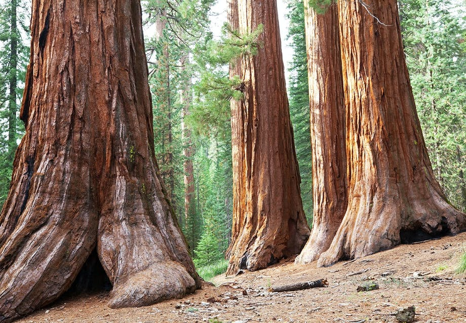 Sequoia-træer i Californien