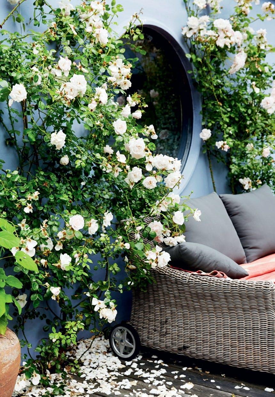 Rosafarvede New Dawn-roser