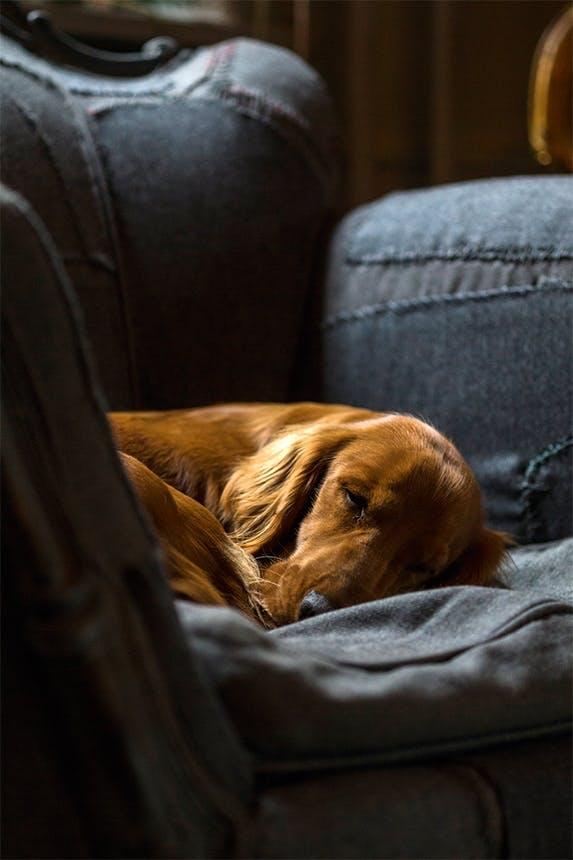 shanes hund anders der sover i en blå lænestol