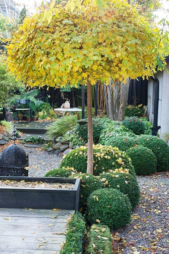 træ med gule blade og grønne buske i efterårshave