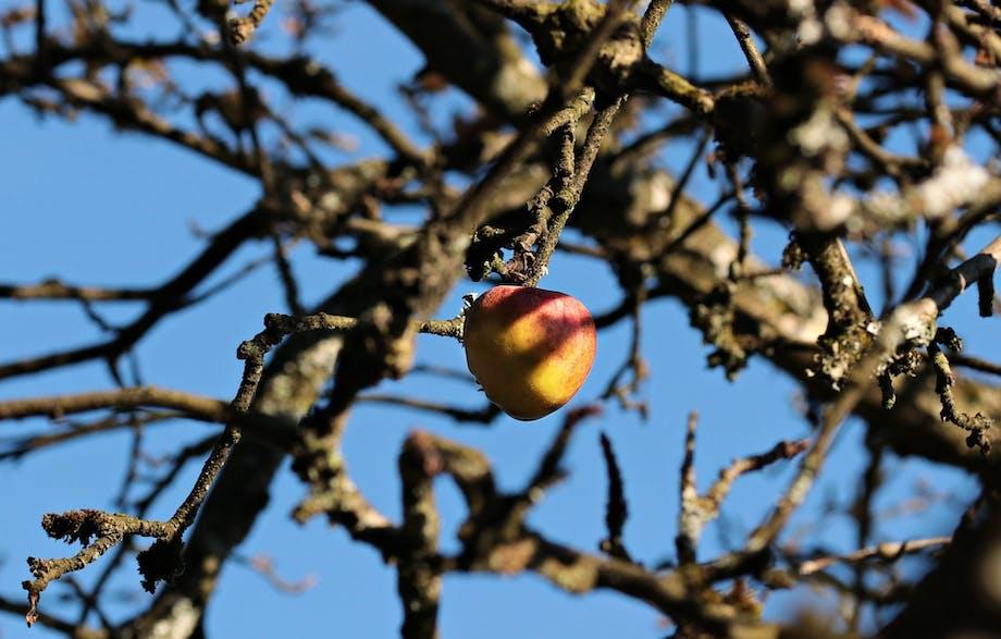 Frugttræerne skal gennemgås