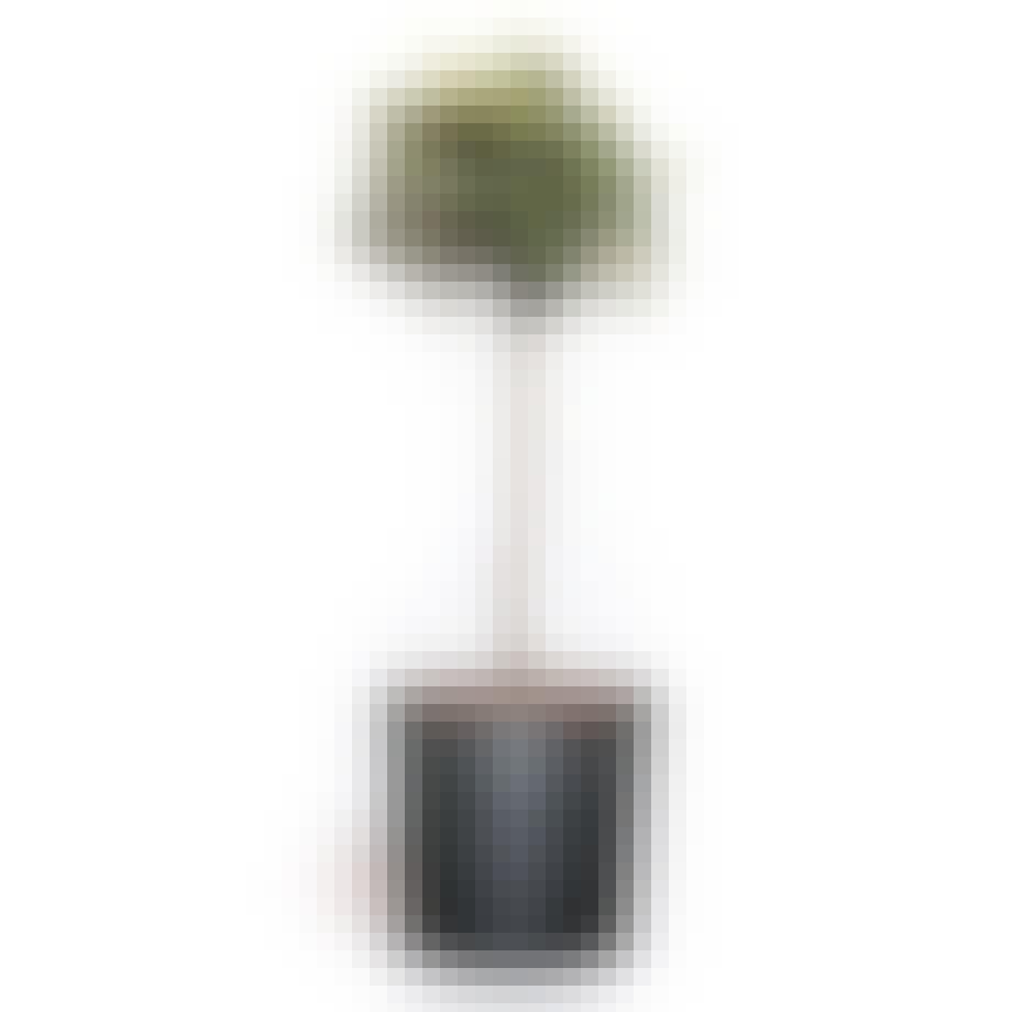 oliventræ træ