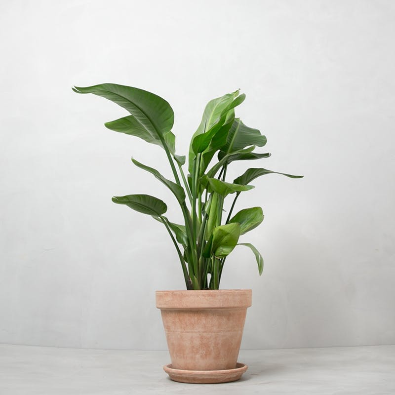 paradisfugl plante