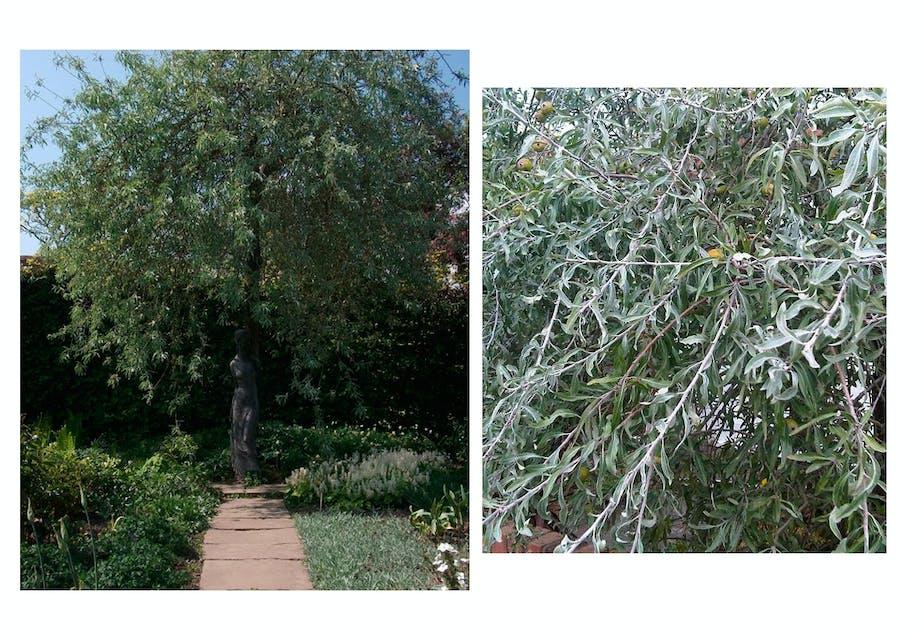 Det sølvgrå løv ligner olivenblade
