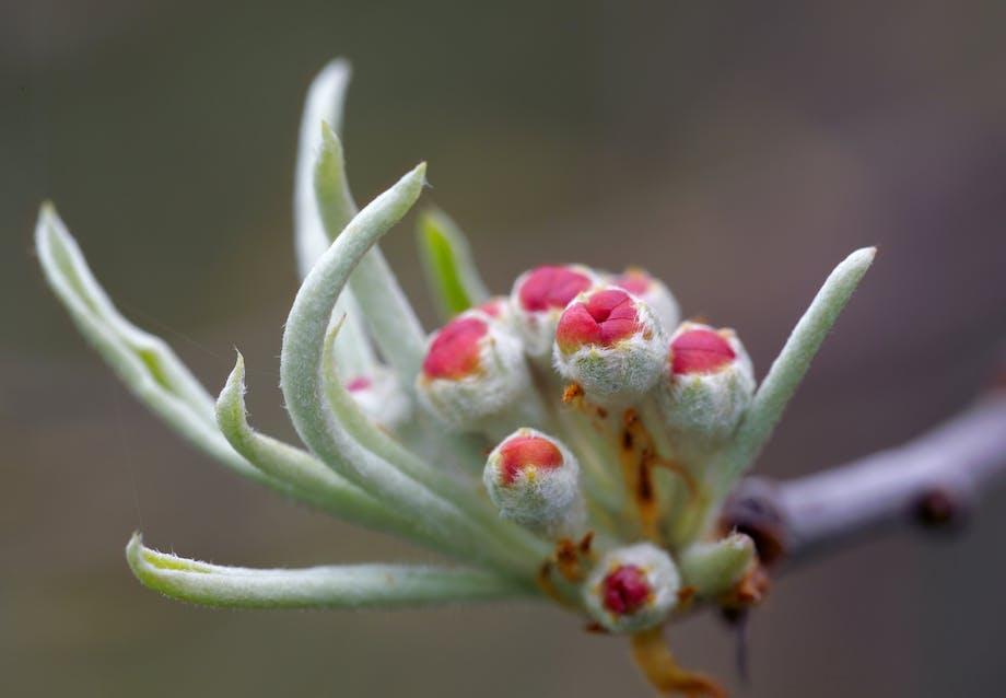 Blomstrer om foråret og får små, hårde frugter