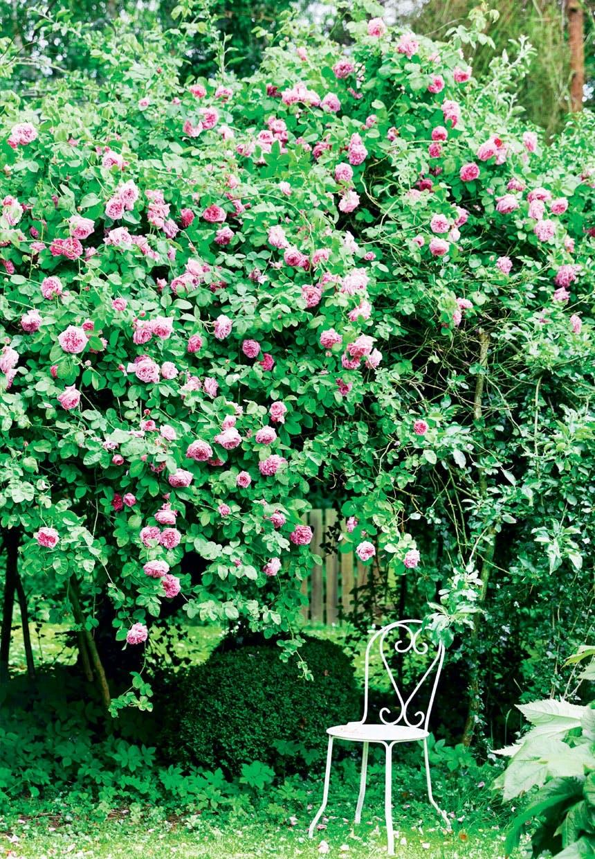 Fantastisk have med stor rosenbusk
