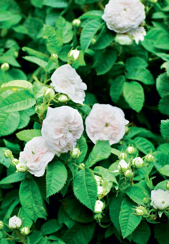Tætfyldte Felicite Parmentier-roser
