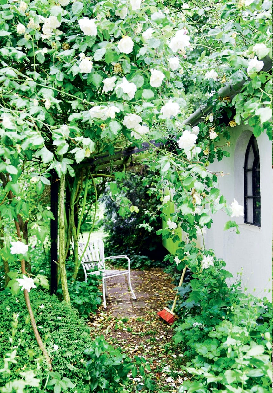 Elegante klatreroser i haven