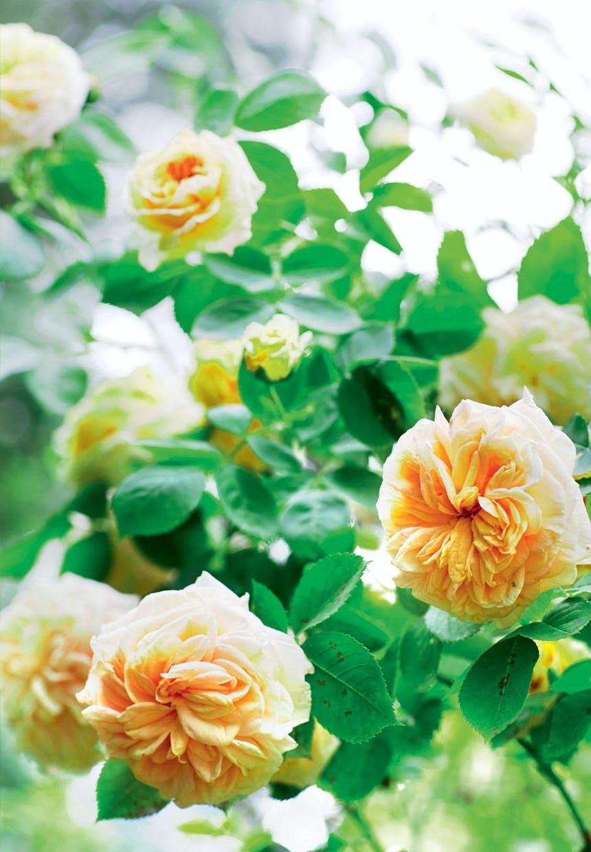 Sarte og sommerfriske Alchymist-roser