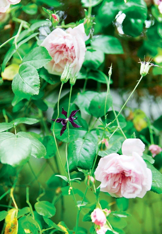 Have med lyserøde Arvensis Splendens-roser