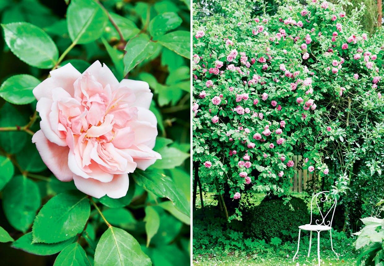 Firelænget gård syd fra København med stor rosenhave