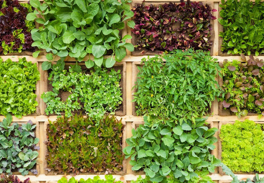 Dyrk krydderurter og salater i 'firkanter'