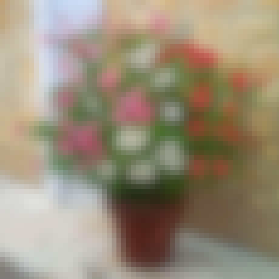 Rosa, røde og hvide nerier