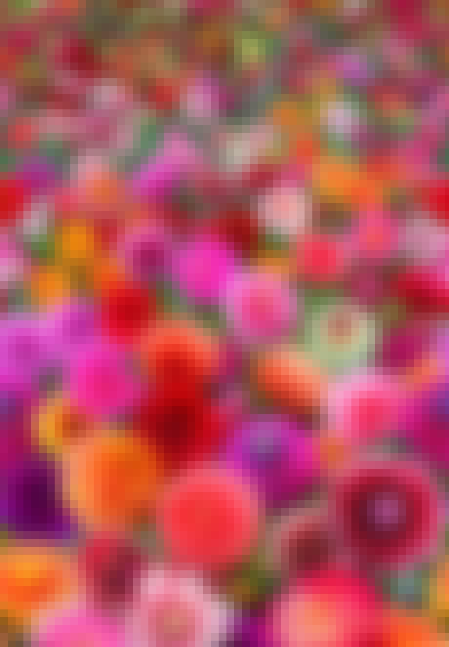 Antallet af dahlia-hybrider er astronomisk