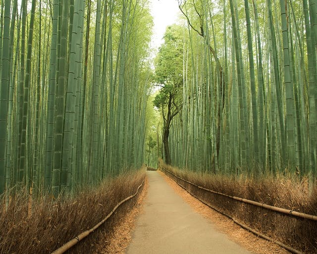 Kyoto Sagano bambusskov, Kyoto, Japan