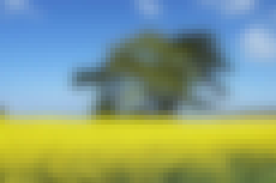 ... rapsmarkerne står hvinende gult