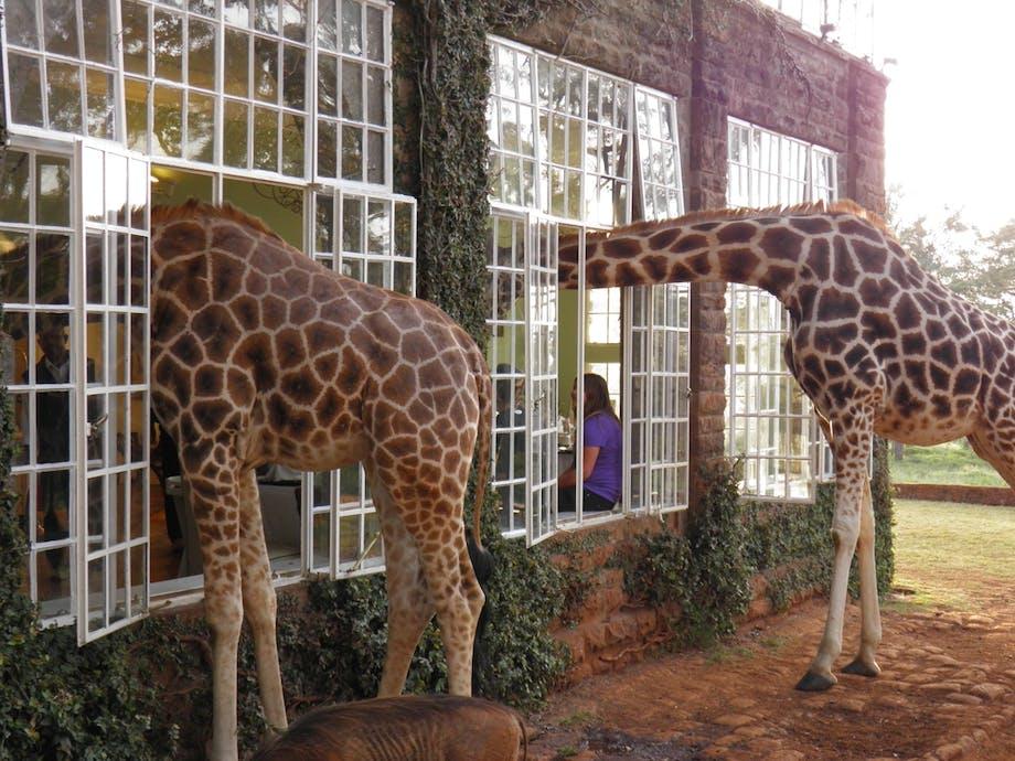 Meget få Rothschild-giraffer tilbage