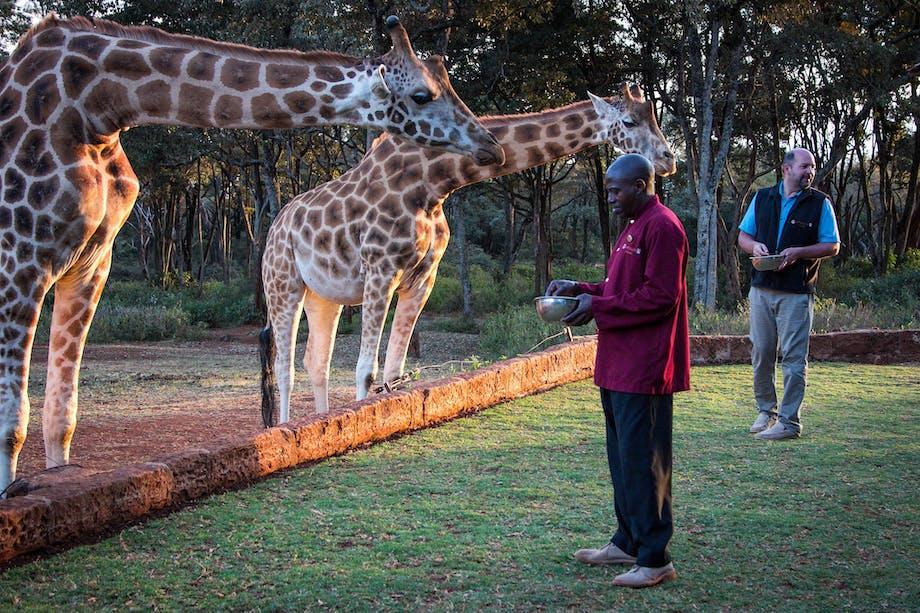 Besøg hotellet Giraffe Manor i Kenya, der vrimler med giraffer