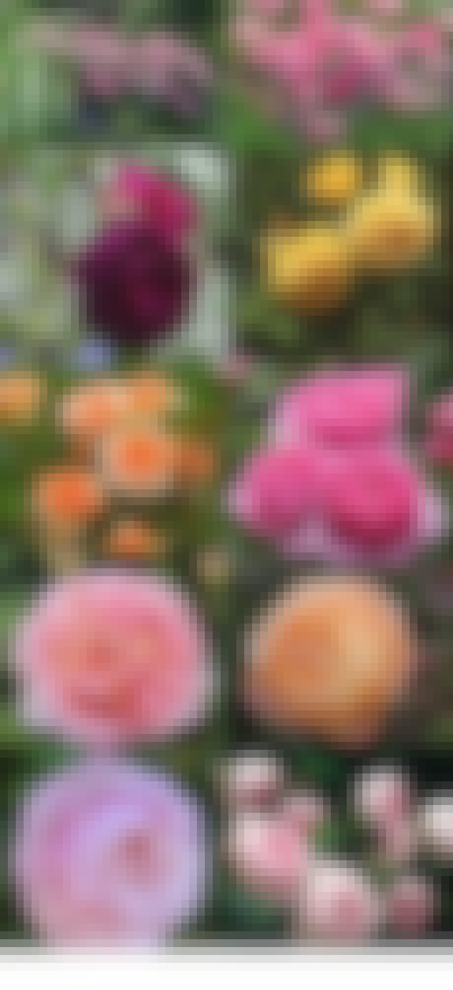 De 15 mest velduftende engelske roser