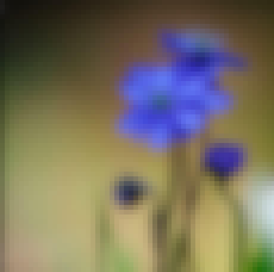 Blå anemoner er særligt bedårende